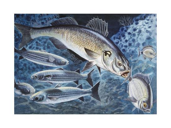 european-seabass-dicentrarchus-labrax-moronidae-drawing