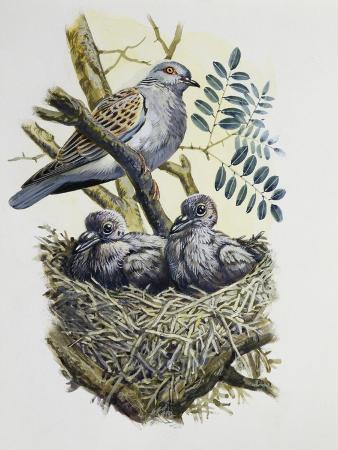 european-turtle-dove-streptopelia-turtur-with-chicks-at-nest-columbidae