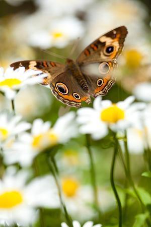 evantravels-buckeye-in-daisies