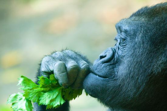 evantravels-gorilla-closeup