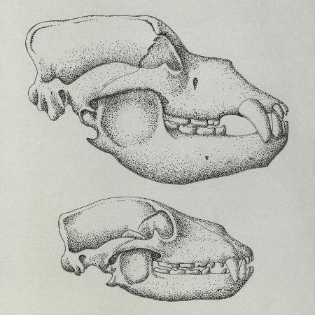 evolution-of-shape-of-bear-s-skull-ursus-sp