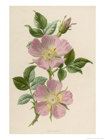 f-edward-hulme-pink-dog-rose