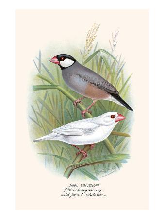 f-w-frohawk-java-sparrow