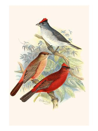 f-w-frohawk-pileated-finch-and-red-crested-finch