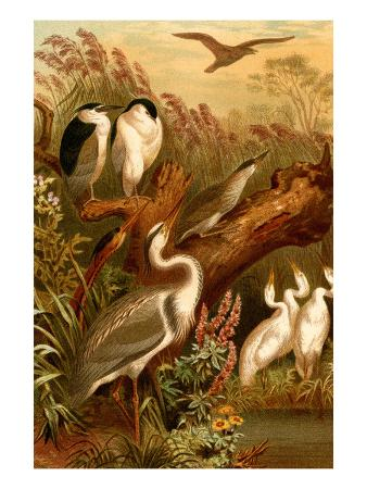 f-w-kuhnert-egrets-and-cranes