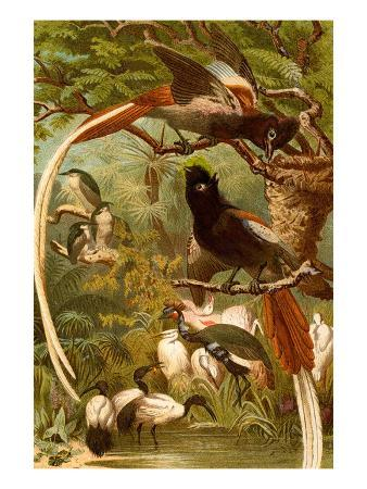 f-w-kuhnert-pygmy-bird-of-paradise