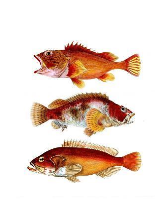 fab-funky-orange-fish-trio