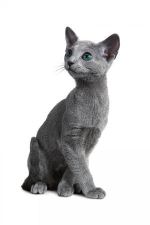 fabio-petroni-blue-russia-cat