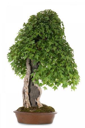 fabio-petroni-bonsai