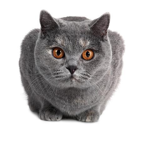 fabio-petroni-british-shorthair-cat