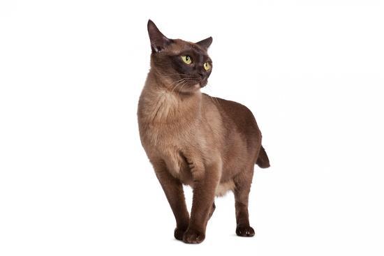 fabio-petroni-burmese-cat