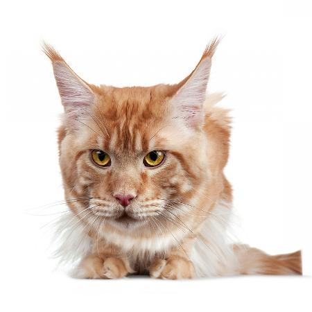 fabio-petroni-maine-coon-cat