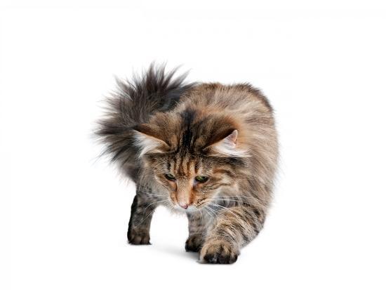 fabio-petroni-norwegian-forest-cat