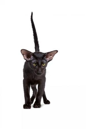 fabio-petroni-oriental-cat