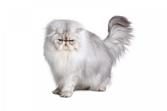 fabio-petroni-persian-cat