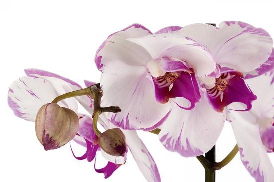 fabio-petroni-phalaenopsis-shih-hua-smile2