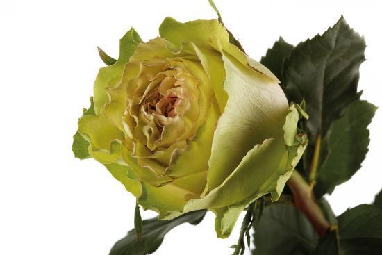 fabio-petroni-roses