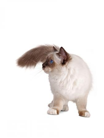fabio-petroni-sacred-cat-of-burma