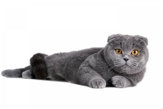 fabio-petroni-scottish-fold-cat