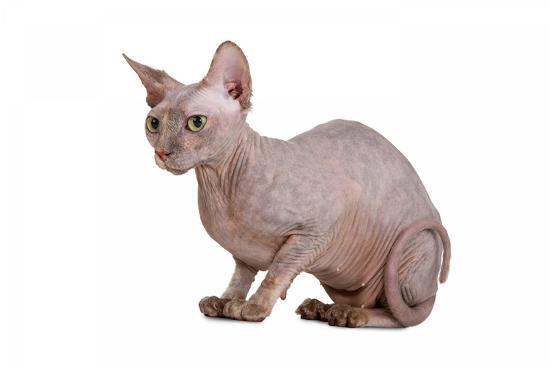fabio-petroni-sphinx-cat