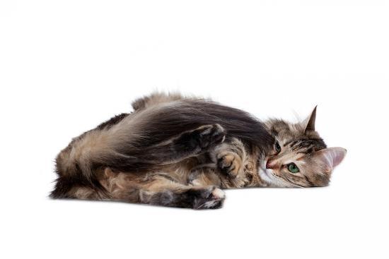 fabio-petroni-turkish-angora-cat