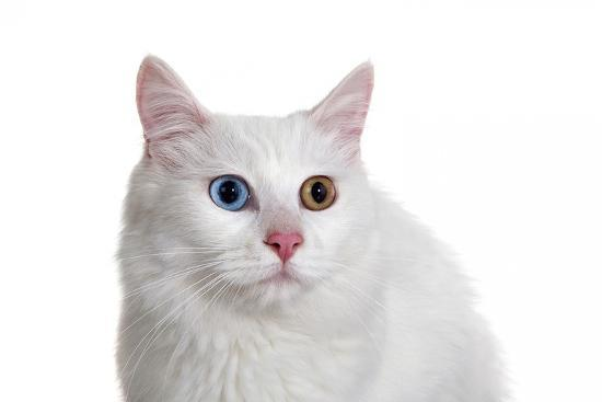 fabio-petroni-turkish-van-cat-with-different-color-eyes