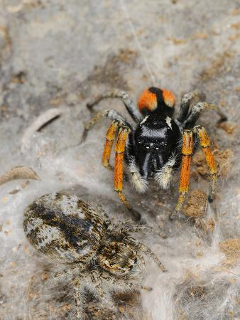 fabio-pupin-a-male-jumping-spider-philaeus-chrysops-mate-guarding-its-female