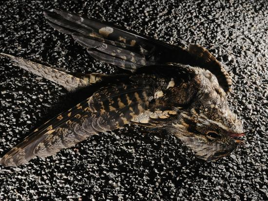 fabio-pupin-a-nightjar-caprimulgus-europaeus-killed-by-cars-europe