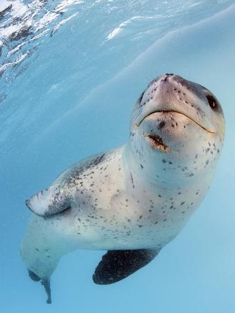 facial-view-of-a-leopard-seal-astrolabe-island-antarctica