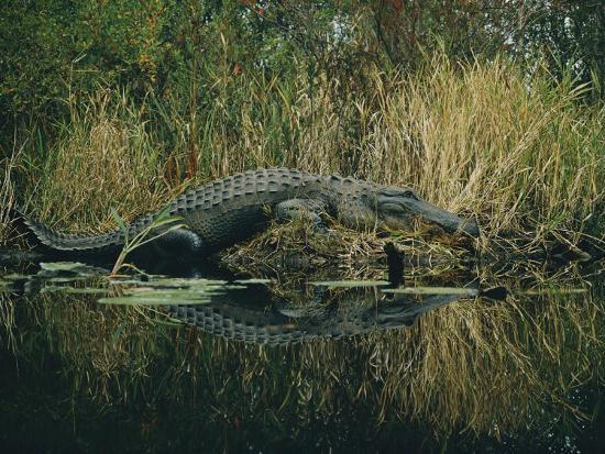 farrell-grehan-american-alligator-basking-near-the-water