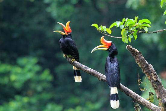 feathercollector-rhinoceros-hornbill-buceros-rhinoceros-in-sumatra-indonesia