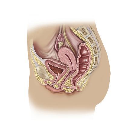 female-reproductive-anatomy-on-white-background