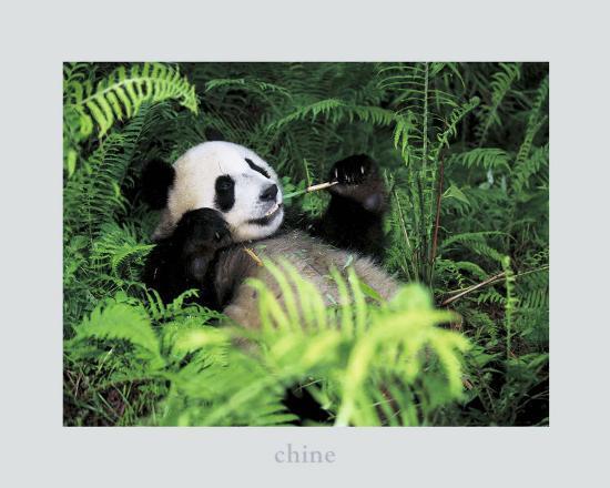 fernandez-giant-panda-szechwan-province-china