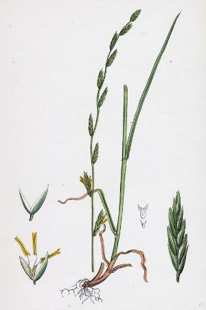festuca-pratensis-var-loliacea-meadow-fescue-grass-var-b