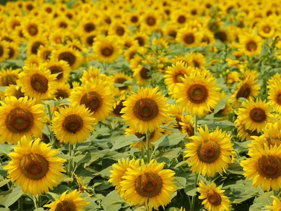 field-of-sunflowers-full-frame-zama-city-kanagawa-prefecture-japan