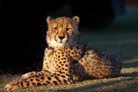 fiona-ayerst-regal-cheetah-basking-in-the-afternoon-sun-at-umkondo-cheetah-rehabilitation-centre-near-mosselbay