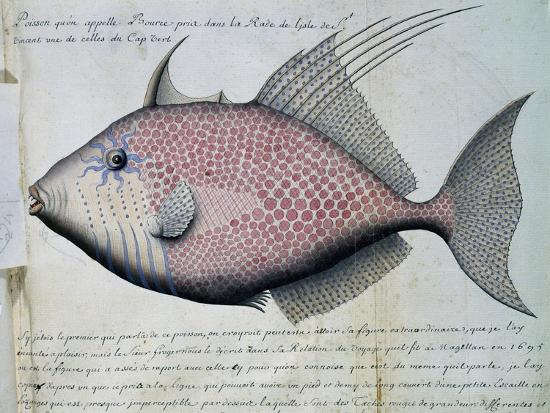 fish-called-bource
