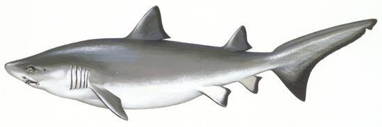 fishes-carcharhiniformes-school-of-sharks-galeorhinus-galeus