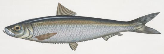 fishes-clupeiformes-sardinella-sardinella-aurita