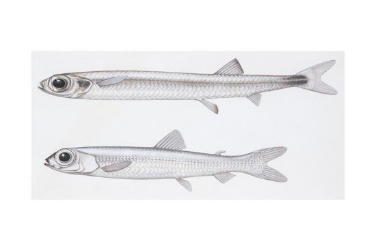 fishes-evermannellidae-balbo-sabretooth-evermannella-balbo