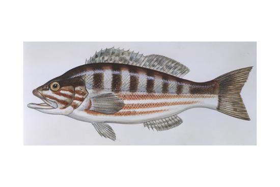 fishes-perciformes-serranidae-comber-serranus-cabrilla