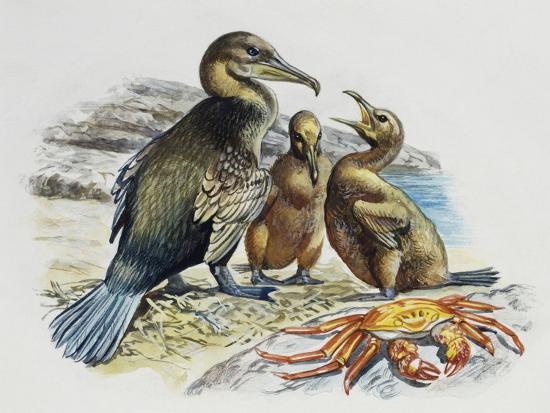 flightless-cormorant-or-galapagos-cormorant-phalacrocorax-harrisi-with-chicks-phalacrocoracidae