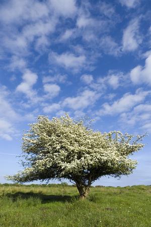 flowering-hawthorn-crataegus-monogyna-tree-under-fair-weather-sky-gower-s-wales-uk
