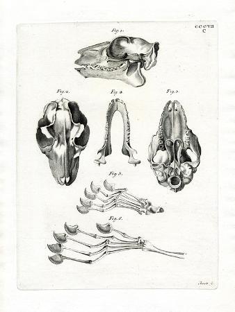 flying-lemur-skull