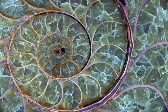 fossil-ammonite