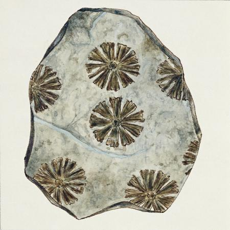 fossils-plants-sphenophyllum-cuneifolium