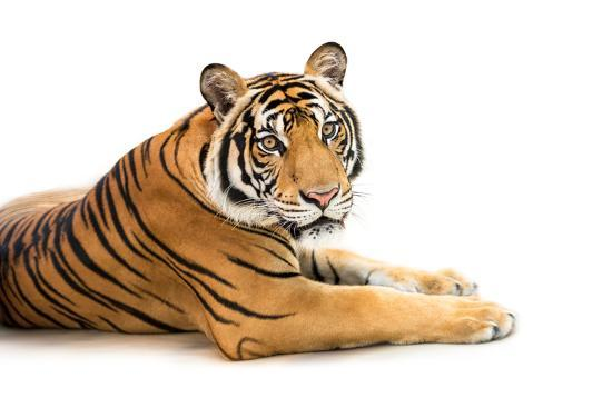 fotoslaz-siberian-tiger-isolated