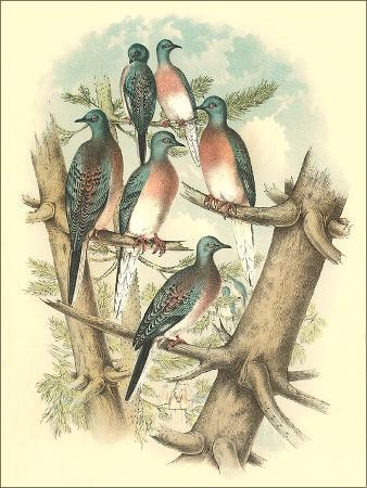 found-image-press-pink-breasted-doves