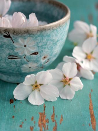 fox-fleurs-de-cerisiers