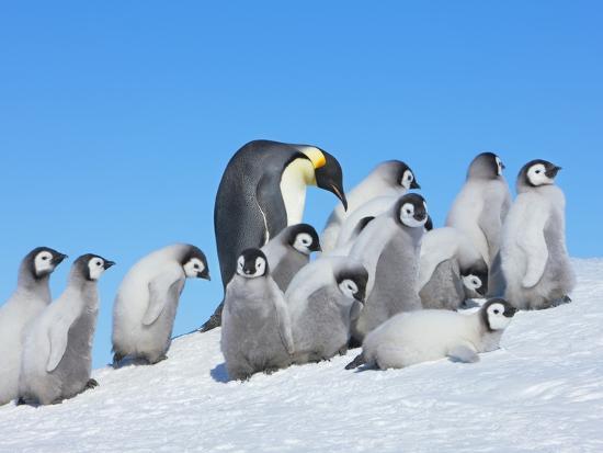 frank-krahmer-emperor-penguins